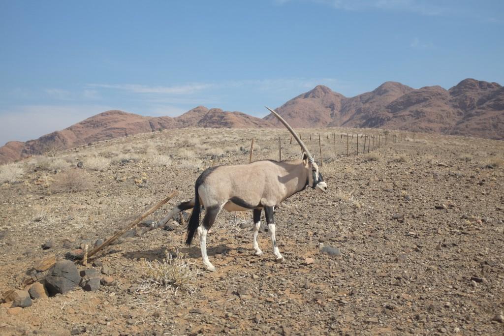 les Oryx n'arrivent pas à sauter ces grillages, me dira t'on plus tard. Ils essayent de passer dessous.