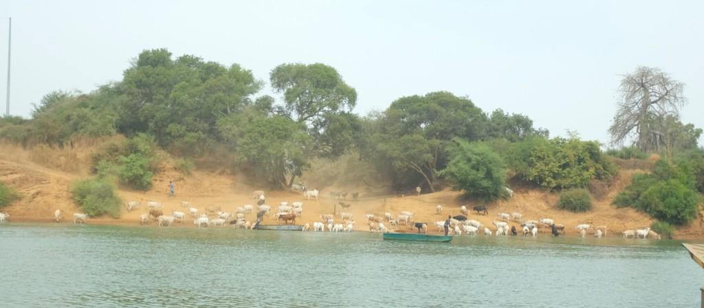 Traversant le Gambie (le fleuve donc) à deux reprises.