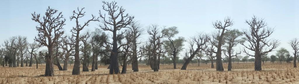 Cet arbre qui, selon la légende, trop orgueilleux, n'accepta de cesser de grandir.
