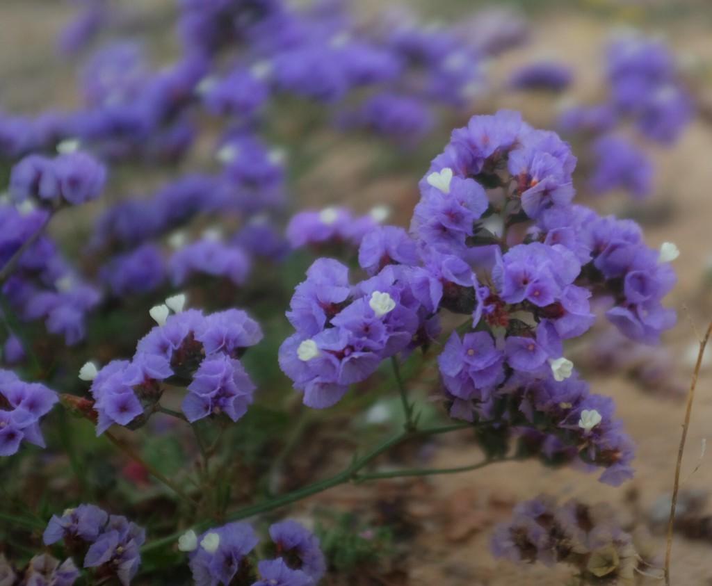 Quelques fleurs, violettes, se dressent en bord de route, défiant le sable et les camions.
